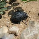 Tenebrionid Beetle