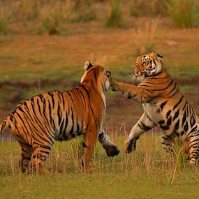 BOXER by Jineesh Mallishery - Animals Lions, Tigers & Big Cats