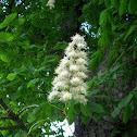 Chestnut flower