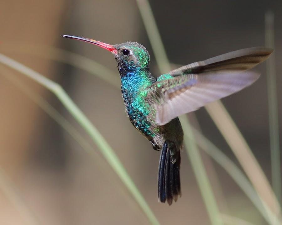 Broad-billed Hummingbird by Terry Sohl - Animals Birds ( broad, cynanthus latirostris, hummingbird, male, hover, hovering, billed, flying, flight, santa, fly, arizona, rita, lodge, , Spring, springtime, outdoors )