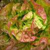 Lettuce (Butterhead), 'Sangria'