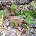 Creeping Oregon Grape