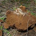 Giant Puffball mushroom