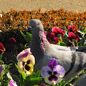 Feral Pigeon(Pombo comum)