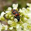 escarabajo ajedrezado