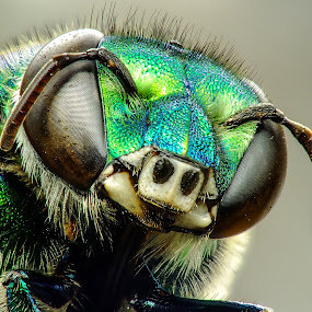 Euglossa sp. (orchid bee) by Rui Santos - Animals Insects & Spiders ( macro, abaetetuba, euglossa, nature, raynox, fuji hs25, amazônia, natureza, pará, brasil, amazon )