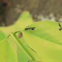 Asian Ant Mantis