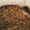 Zwaluwen (Hirundinidae)