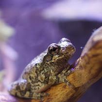 Grey treefrogs of the Northeastern US