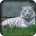 White tiger wallpapers icon