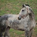 Horse 'Dutch Warmblood'