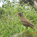Grey winged black bird - Female