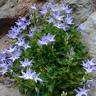 Adriatic bellflower