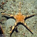 Icon Sea Star