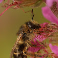 Solitary / wild bees of Belgium