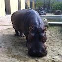 Hippopotamus / Flußpferd
