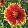 Common Blanket Flower