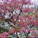 Pink shower tree, pink cassia, pride of Java.