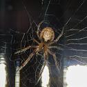 Missing sector orb weaver spider