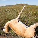 Mongolian Gazelle