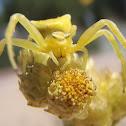 Crab spider. Araña cangrejo
