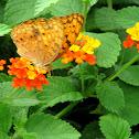 African Leopard Butterfly