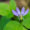 Fringed Spiderflower