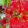 Formícidos u hormigas (Formicidae)