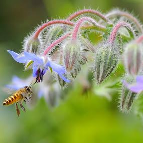 Honey...I love you by Leka Huie - Flowers Flower Gardens ( borago officinalis, honey,  )
