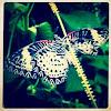 Malayan Lacewing