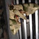 Hawk moth, sphinx moth
