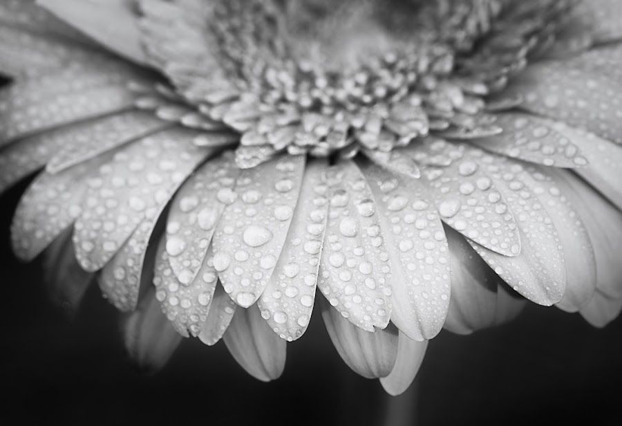 by Lisa Mirante - Black & White Flowers & Plants ( daisy, pink, flowers )