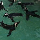 African black-footed penguin