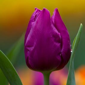 Stand Out! by Lolotan Dalimunthe - Flowers Single Flower ( purple, tulipmania, tulip, lolotan, water drop )