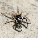 jumping spider?