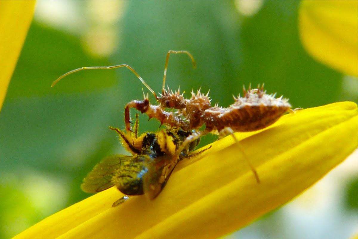 Spiny assassin bug