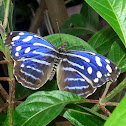Whitened Bluewing