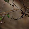 the golden orb weaver (large spider)