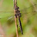 Spiny Baskettail Dragonfly