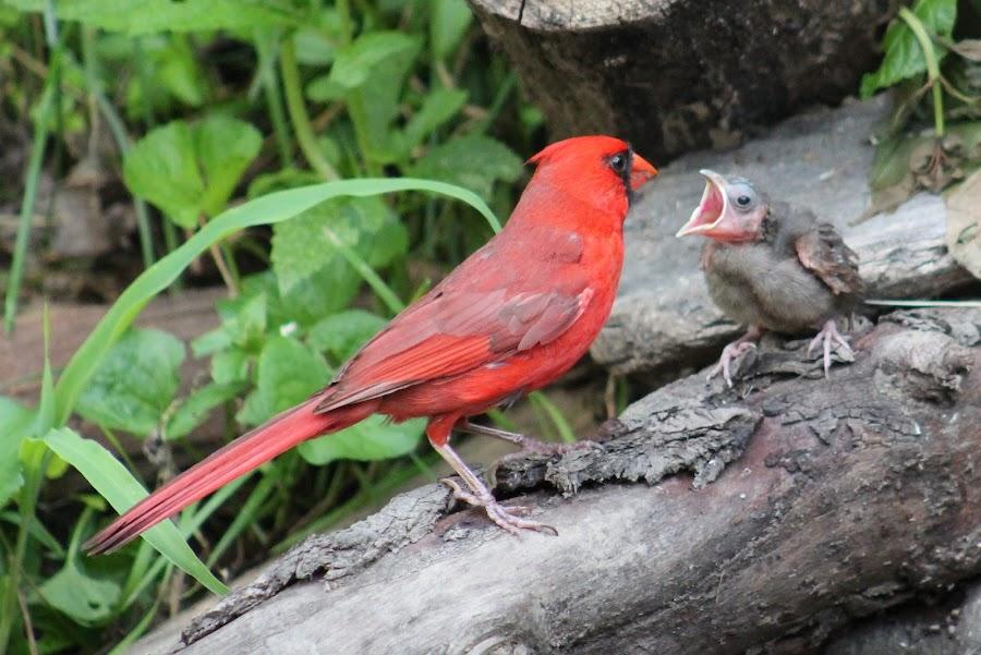Baby Cardinal by Tina Marie - Animals Birds ( cardinal, wildlife, baby birds )