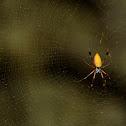 Orb Silk Weaver