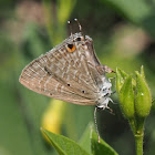 Forget-me-not (female)