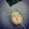 Shielf Bug Nymph