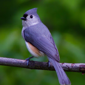 Four and a half hours of bird stalking, one great picture of a Tufted Titmouse. by Jim Anderson - Animals Birds