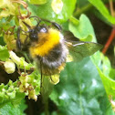 Bumble bee, hommel (dutch)