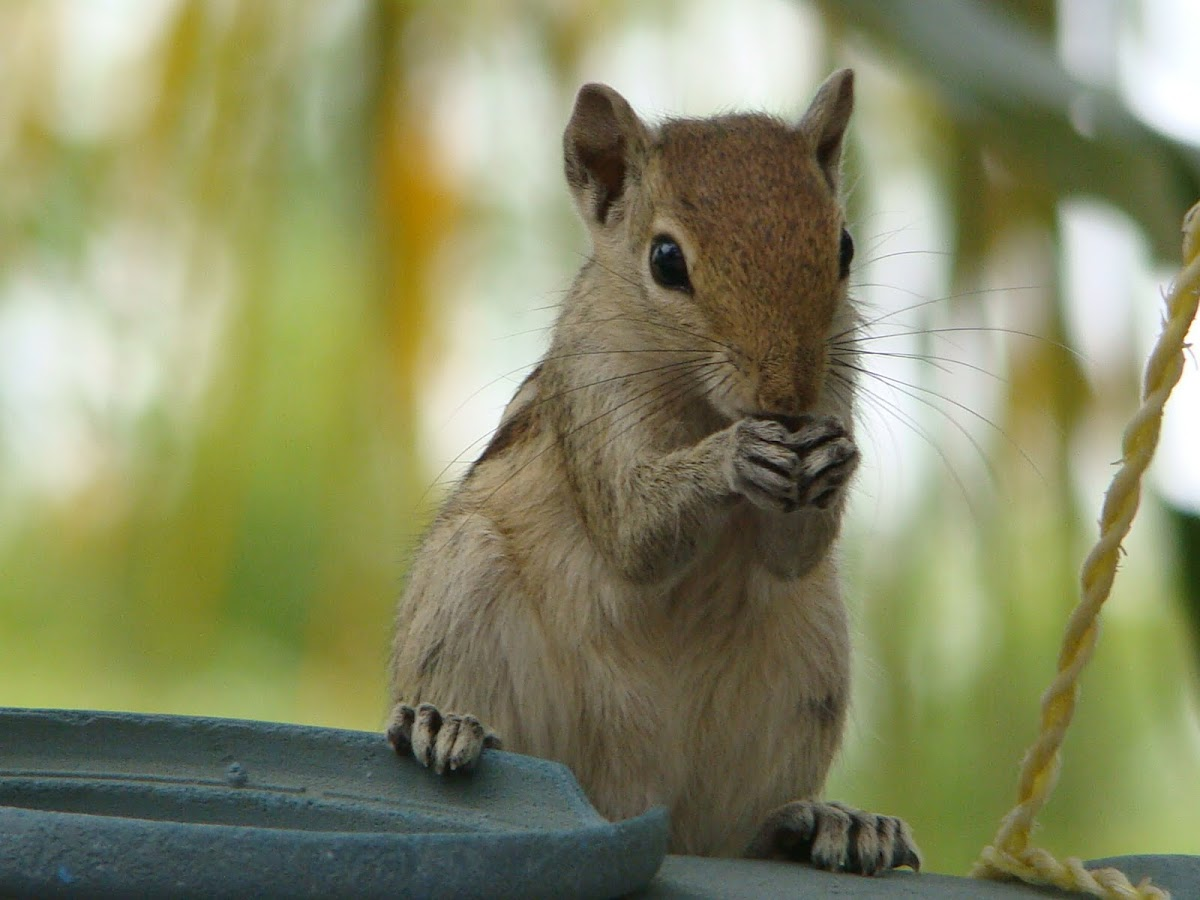 Indian palm squirrel / அணில்(Anil)
