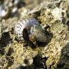 small marine snail