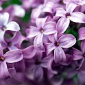 wallpaper lilac flowers logo