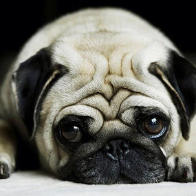 Pug by Fullerton FireCo - Animals - Dogs Portraits ( puppies, animals, dogs, cute, pug )