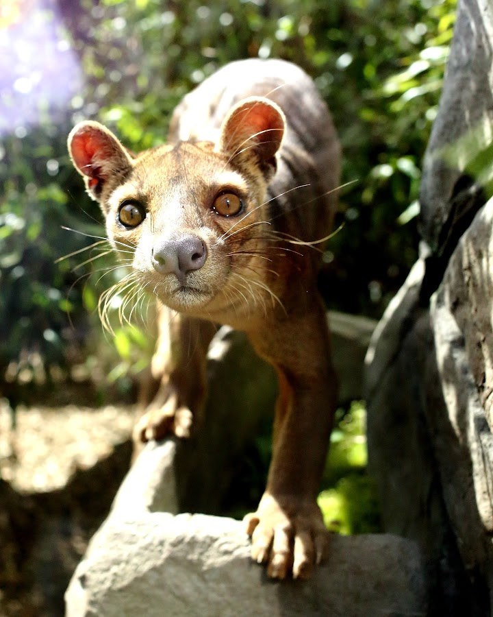Fossa by Selena Chambers - Animals Other Mammals ( wild, animals, wildlife, fossa, mammal )